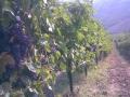 filari carichi uva.jpg