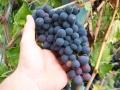 grappolo uva.jpg