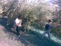 raccolta olive.jpg